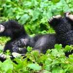 Ultimate Gorilla Tours in East and Central Africa