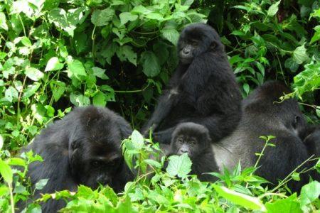 Where to Go Lowland Gorillas in Africa